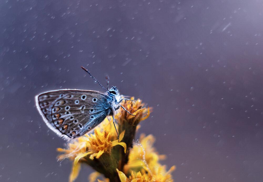 icarusblauwtje-in-de-regen.jpg