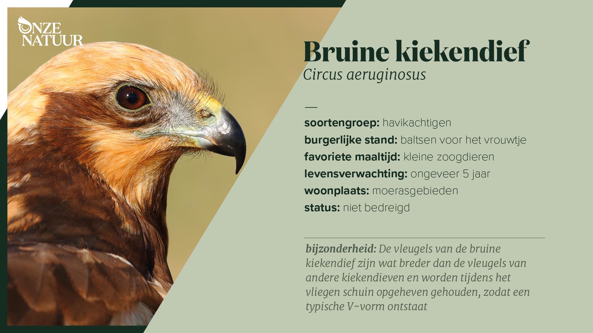 on-fiche-bruine-kiekendief-nl.png