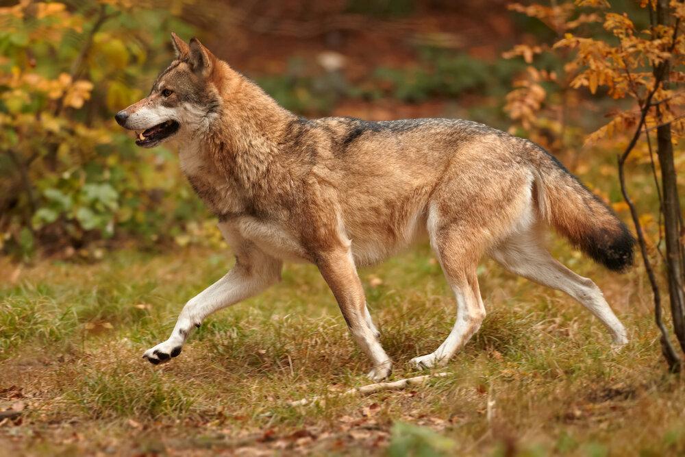 rennende-wolf.jpg
