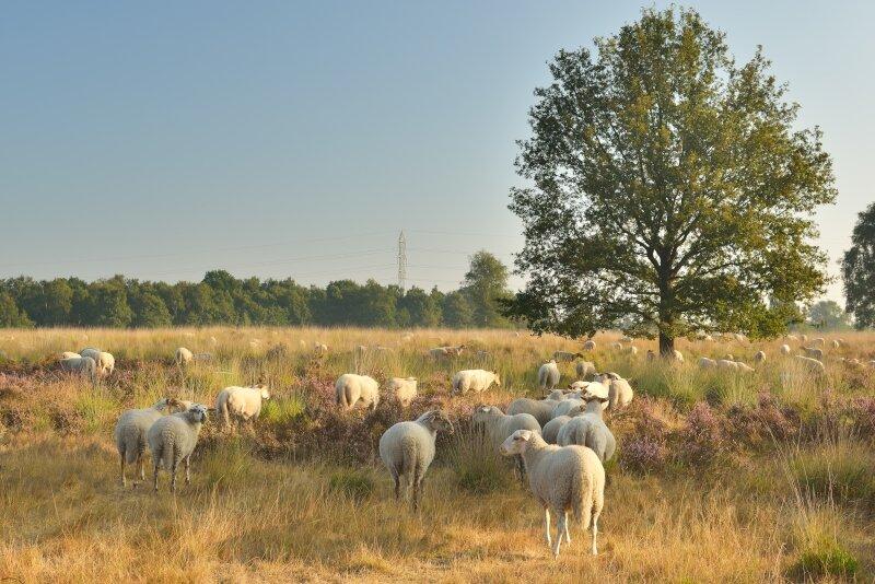 Kempense schapen in Tenhaagdoornheide