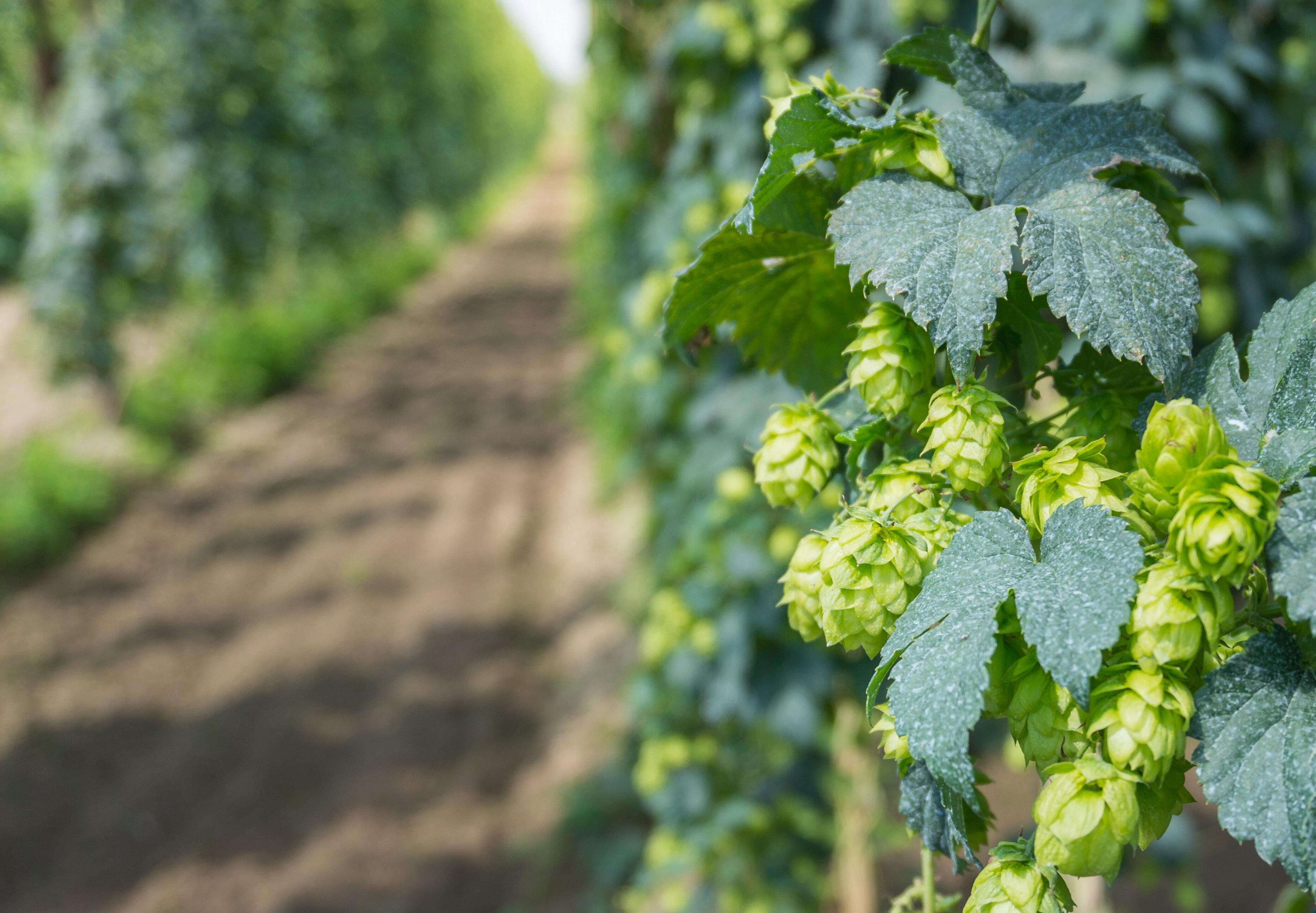 Belgische hopplanten