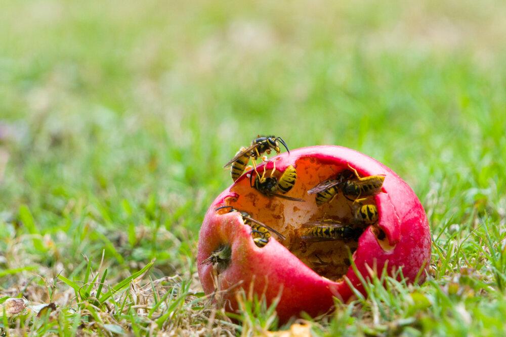 Lok wespen weg van je tafel met een stuk rottend fruit