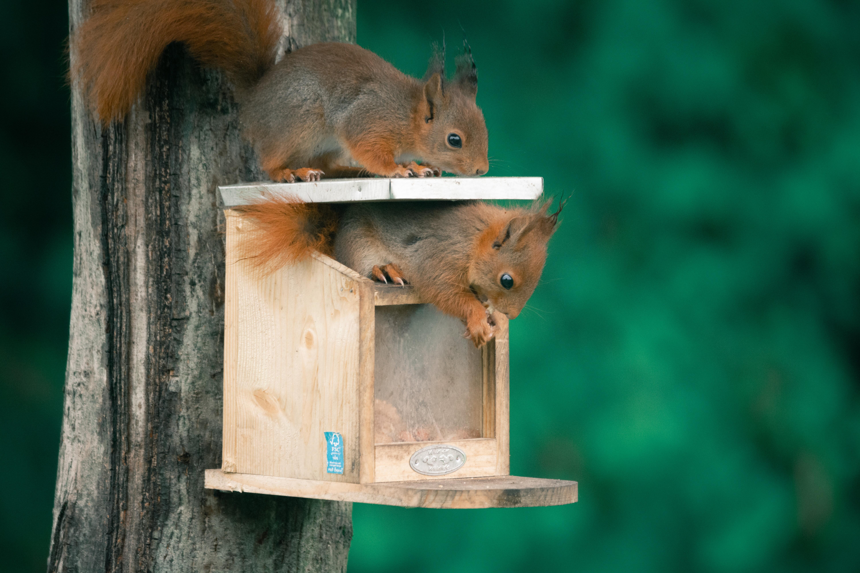 Eekhoorns op én in een voederkastje
