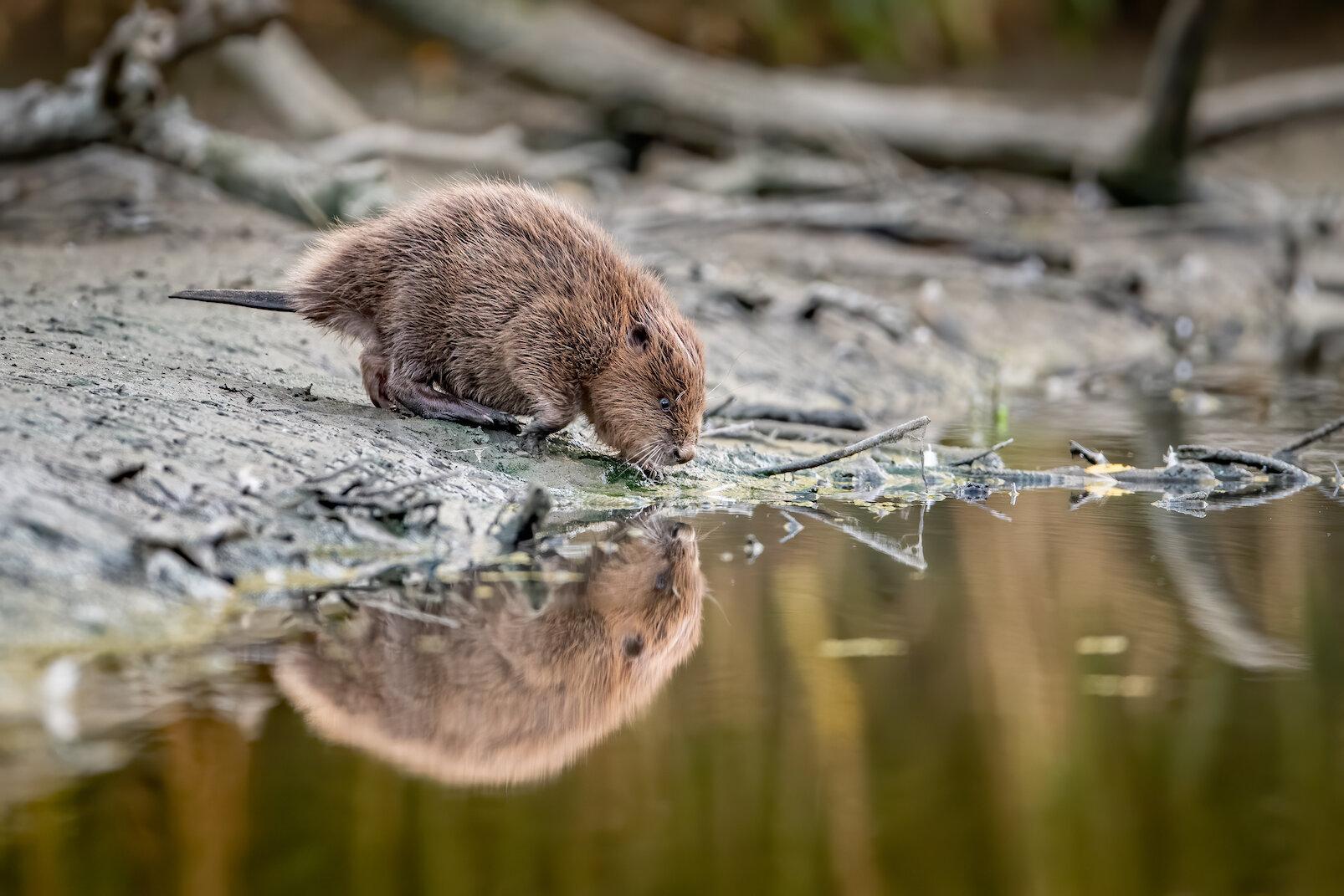 Bever ziet eigen spiegelbeeld aan de waterkant