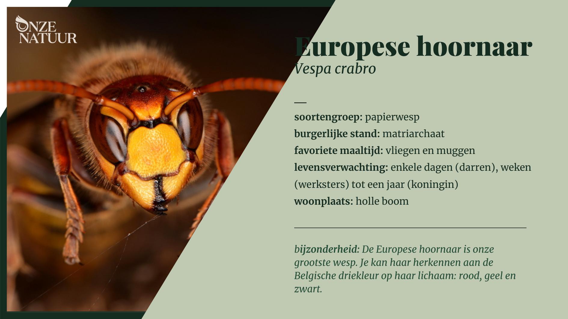 europese-hoornaar-soortenfiche.png