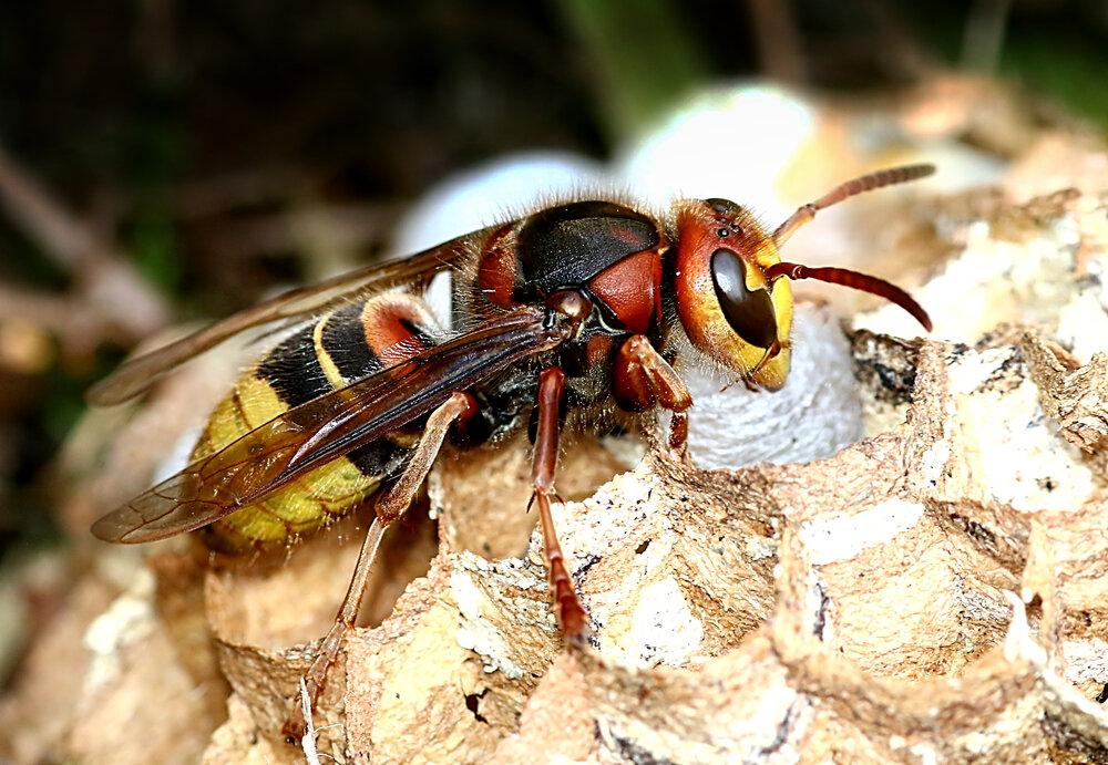europese-hoornaar-bouwt-nest.jpg