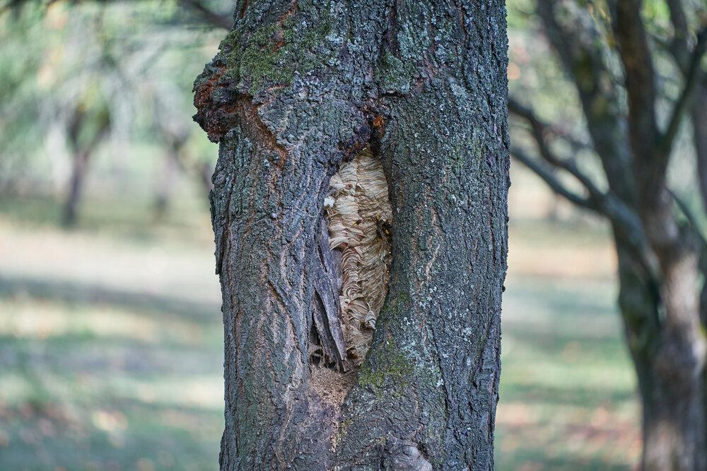 Nest van Europese hoornaar in holle boom