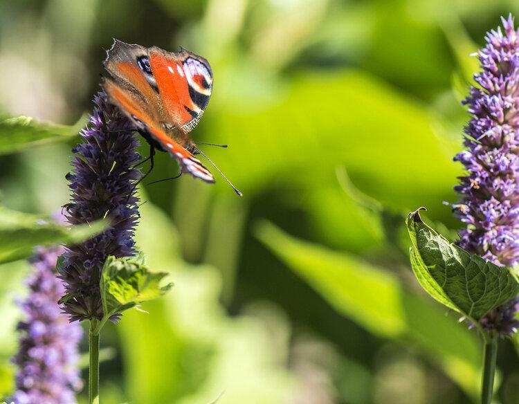 vlinder-op-bloem-in-tuin.jpg