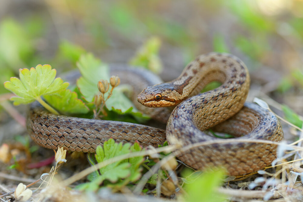 Gladde slang tussen planten
