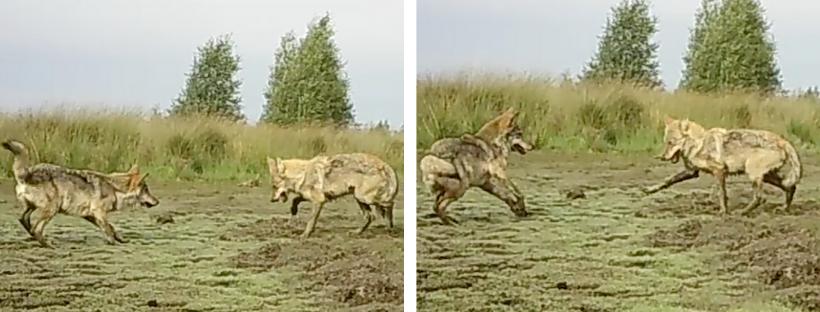 Twee wolven nodigen elkaar uit om te spelen