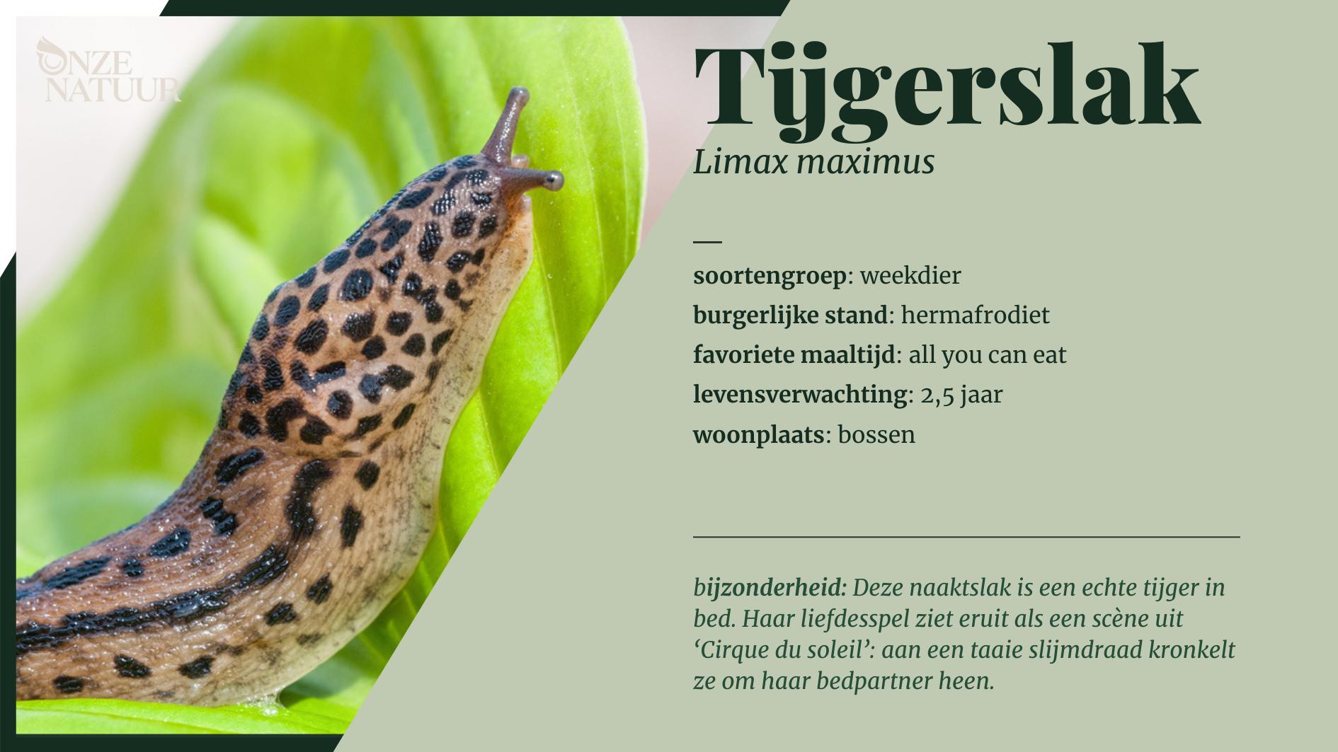 Korte info over de tijgerslak