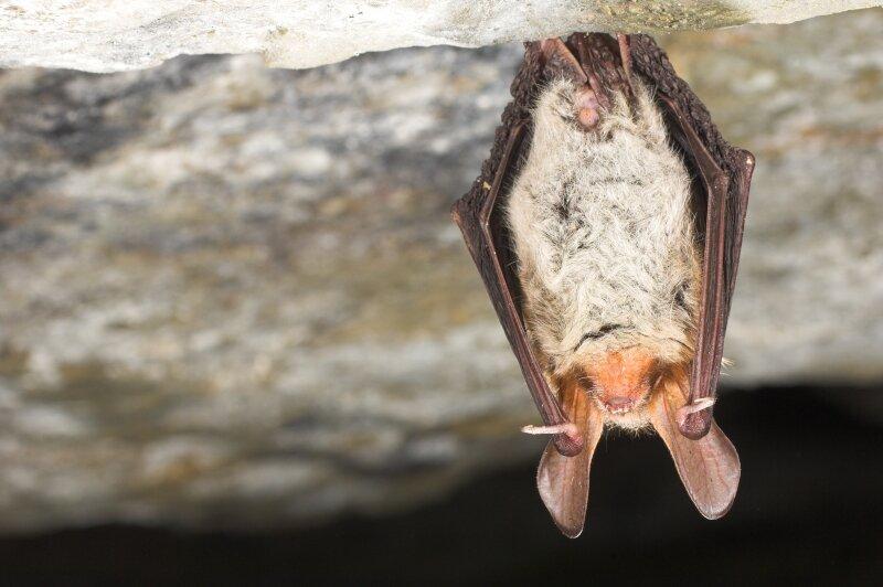 Bechsteins vleermuis hangend in grot