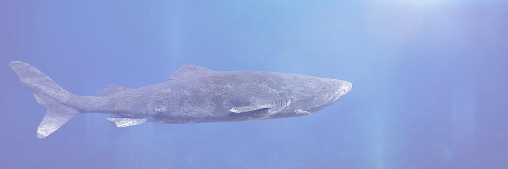 Groenlandse haai zwemt