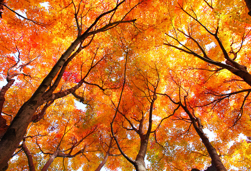 onze-natuur-herfst-rodebomen.jpg