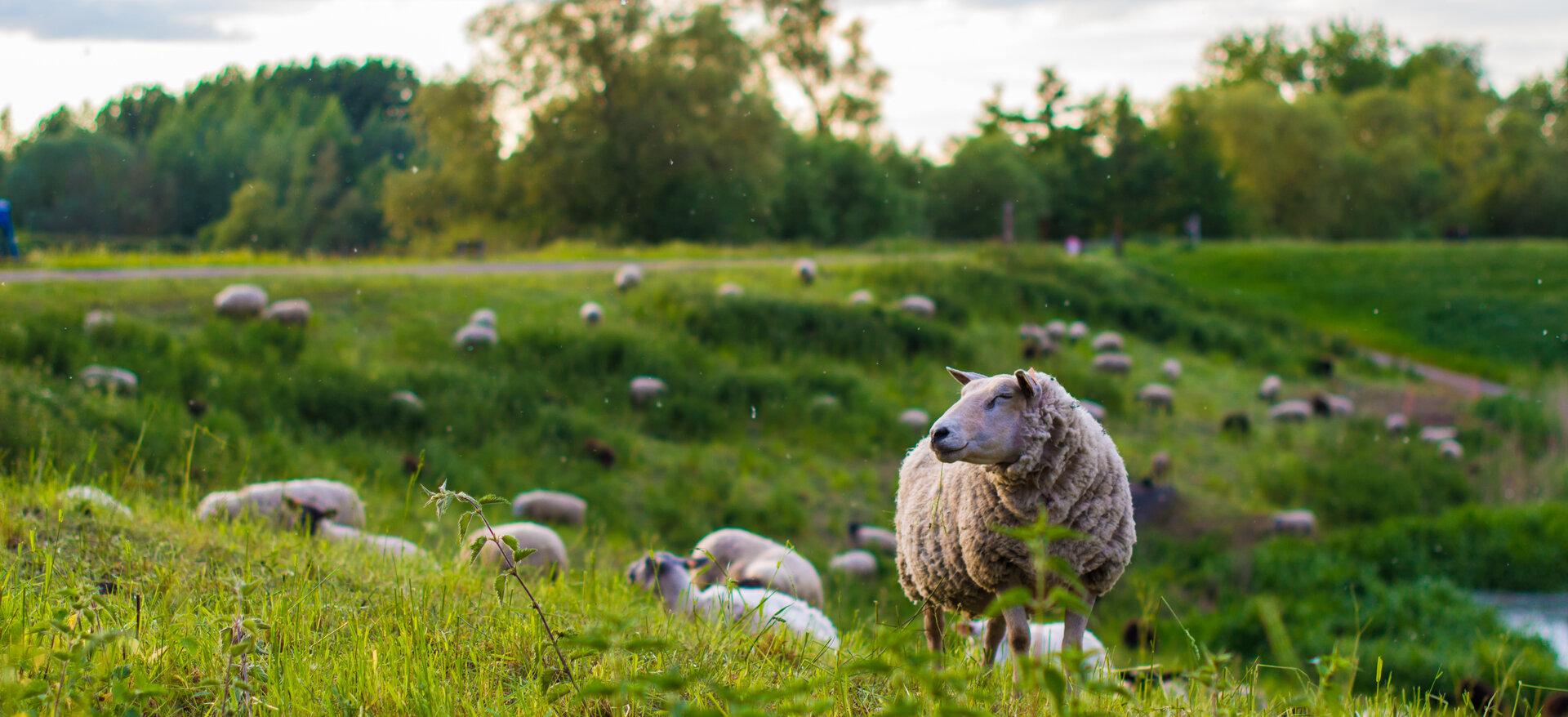Een weide vol grazende schapen die hun voedsel herkauwen.