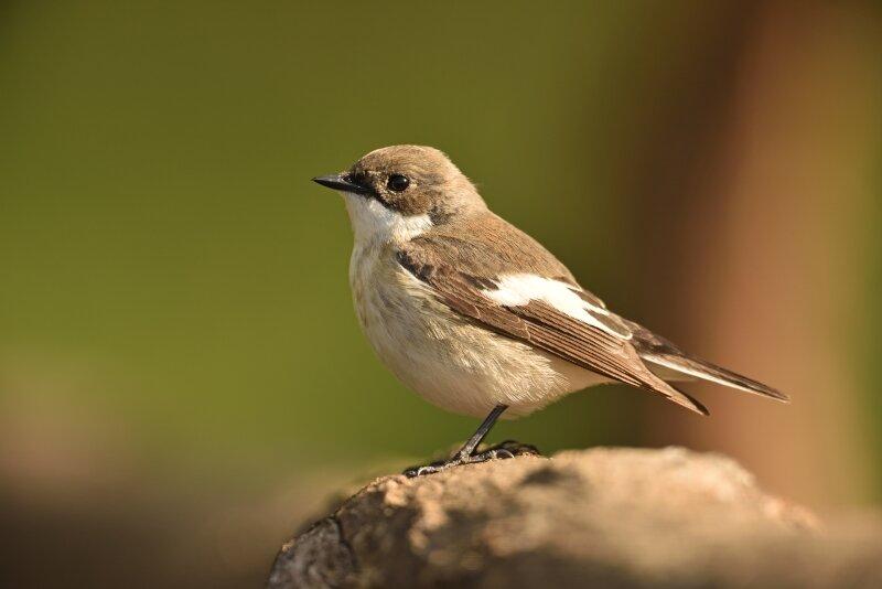 Een verandering in de voedselketen? Bonte vliegenvangers broeden vroeger op het jaar om toch rupsen aan hun jongen te kunnen voederen.