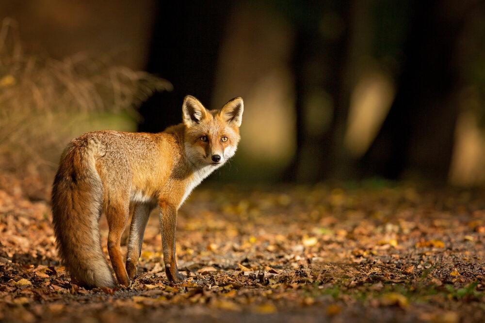 De vos, een van de topfavorieten