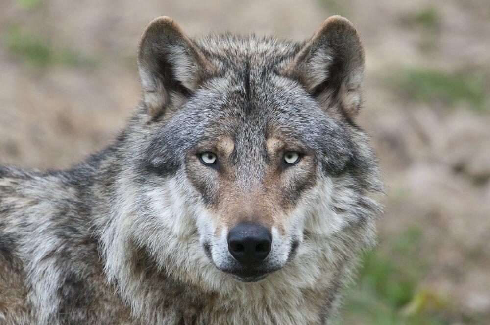 wolf-portret.jpg