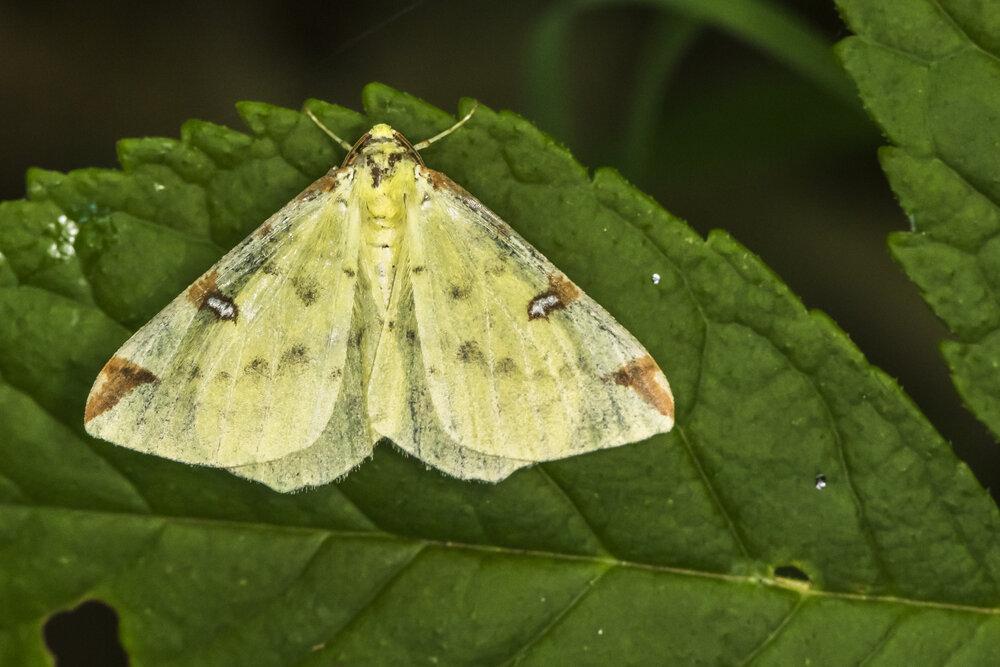 De hagendoornvlinder is een voorbeeld van een nachtvlinder die aangetrokken wordt door licht wanneer het donker is.