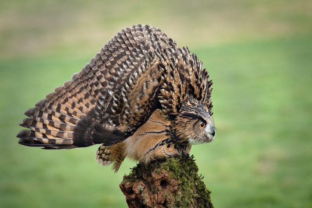 De defensieve houding van de oehoe