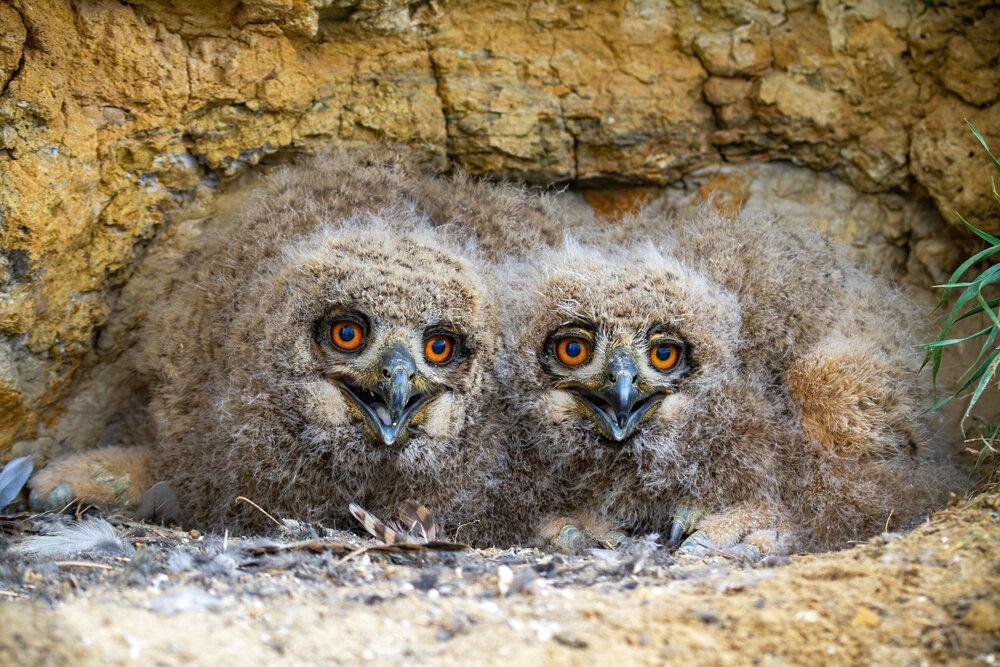 Twee uilskuikens in rotsig nest