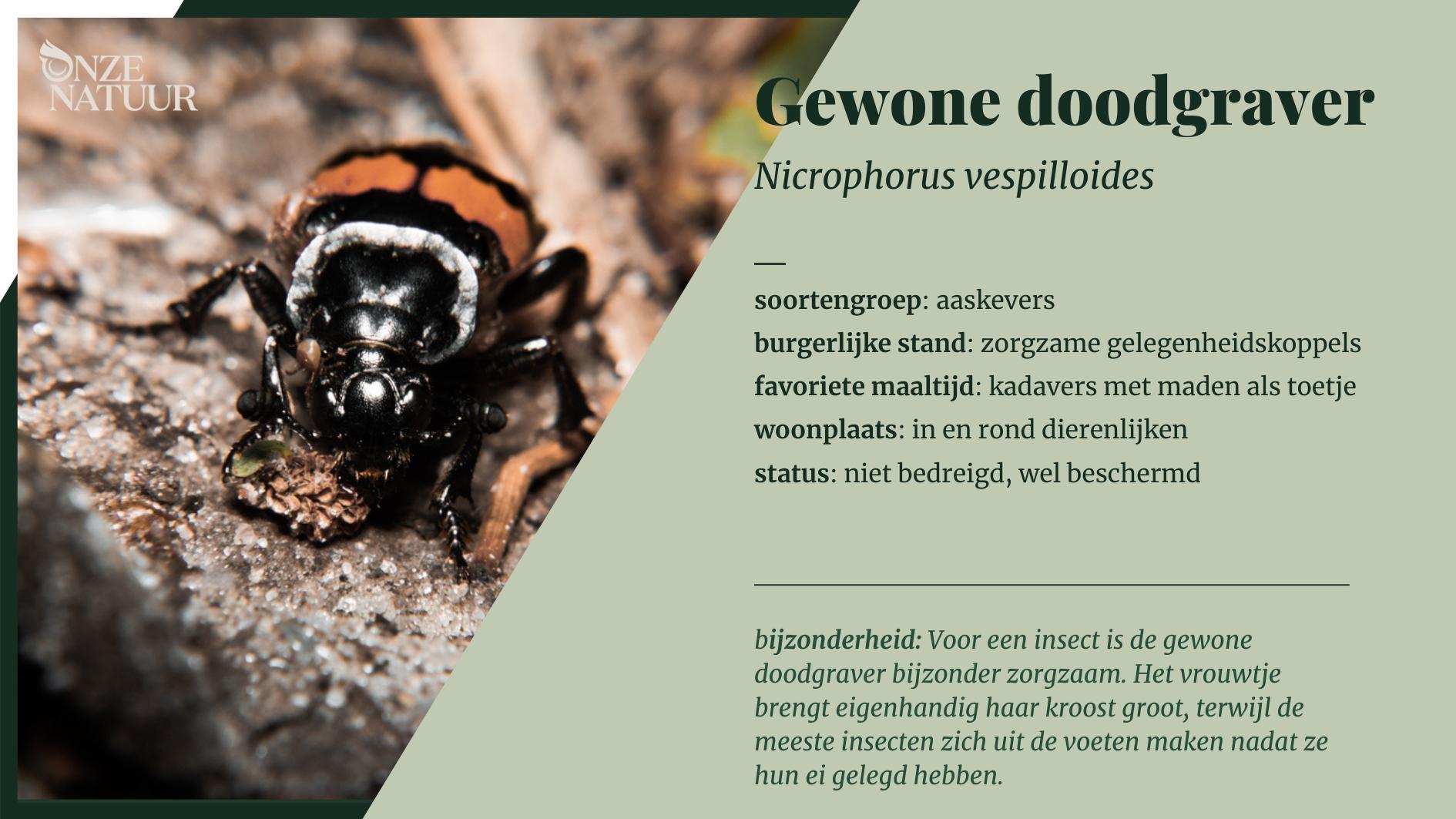 soortenfiche-gewone-doodgraver.png