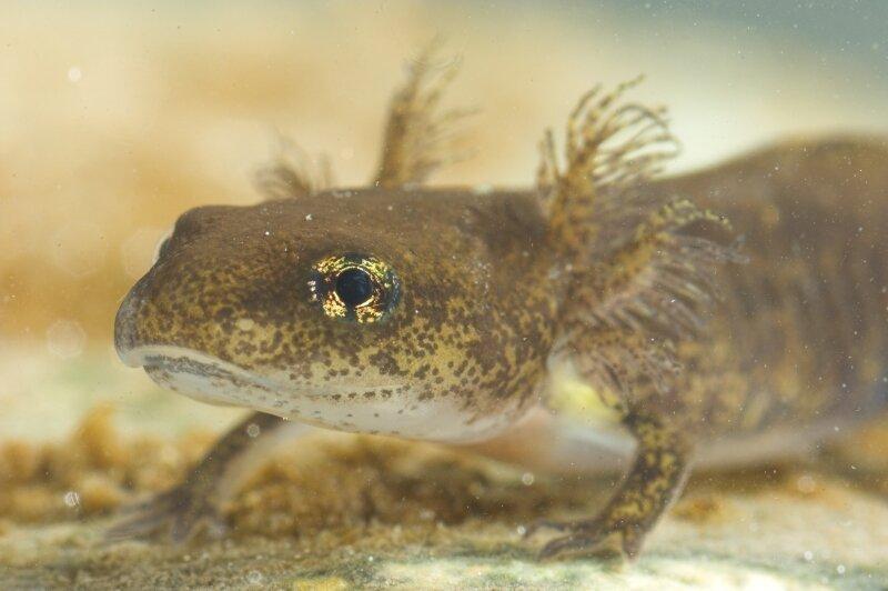 Larve van de vuursalamander in het water