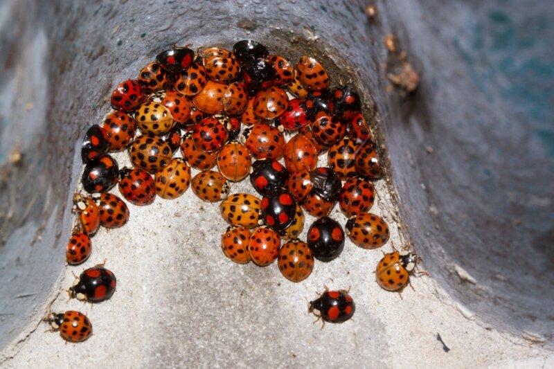 Een aggregatie van Veelkleurige Aziatische lieveheersbeestjes, een ingevoerde soort die onze inheemse lieveheersbeestjes bedreigt.