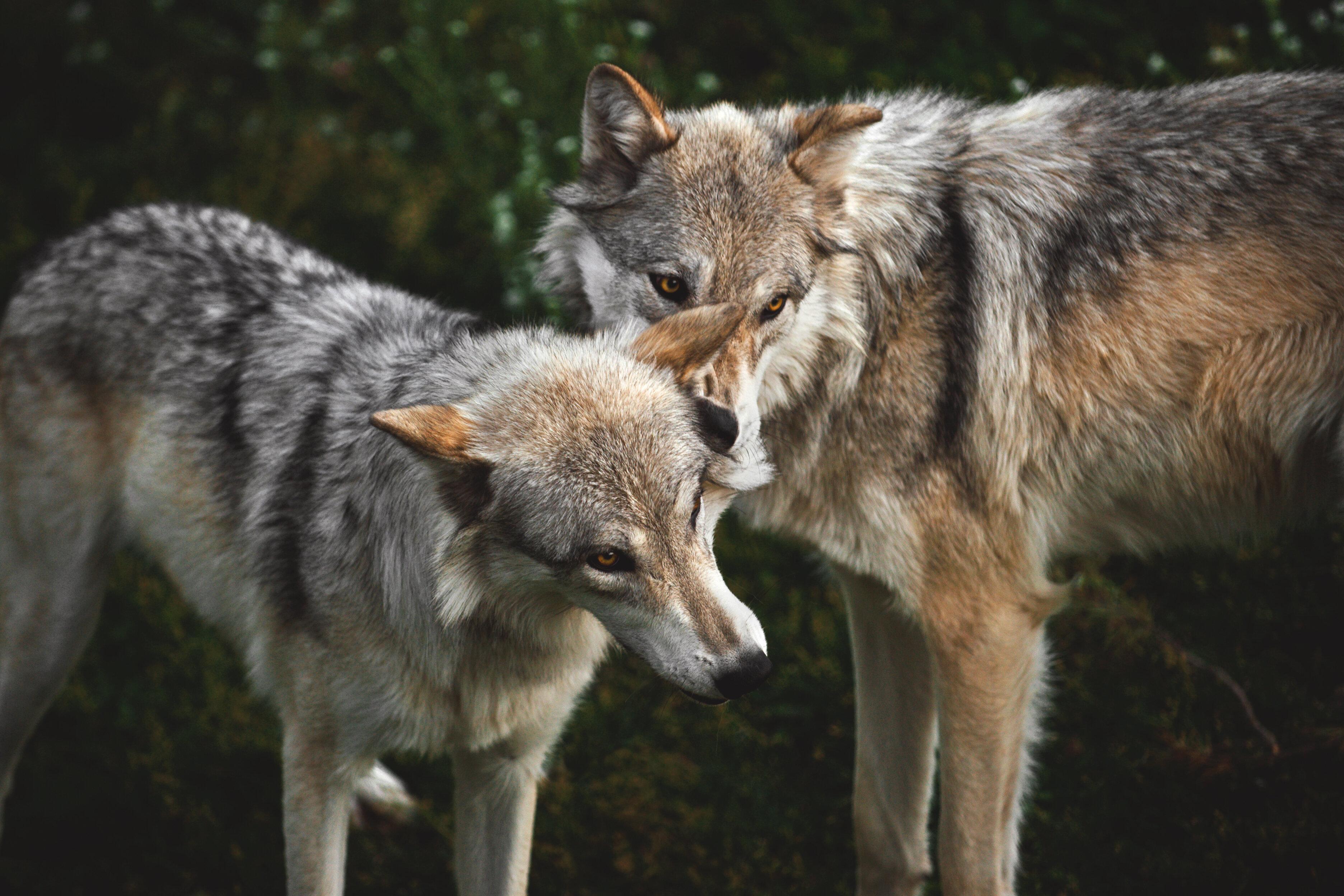 twee-wolven.jpg