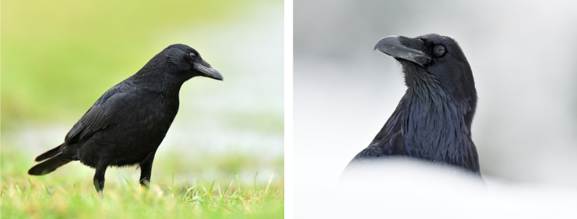 Links: zwarte kraai; rechts: raaf; op de hoofdfoto van dit artikel zie je een roek