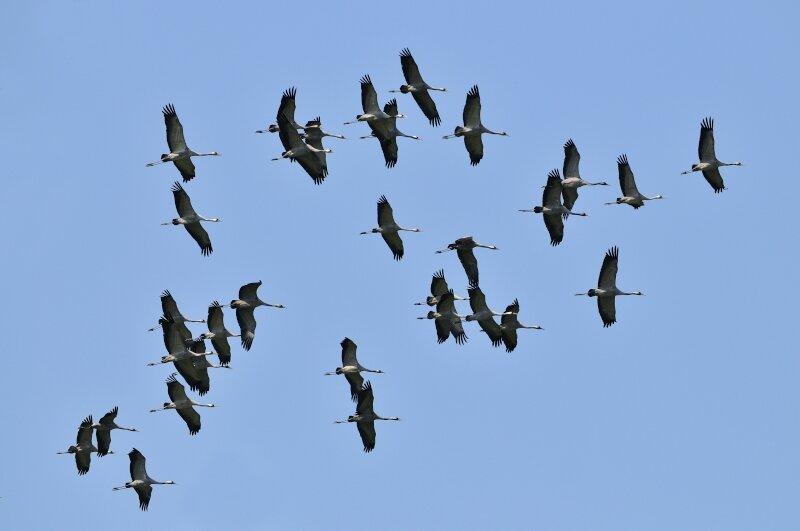 vilda-kraanvogels-in-vlucht.jpg