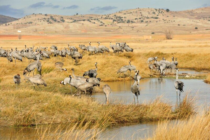 Kraanvogels op hun overwinterplek