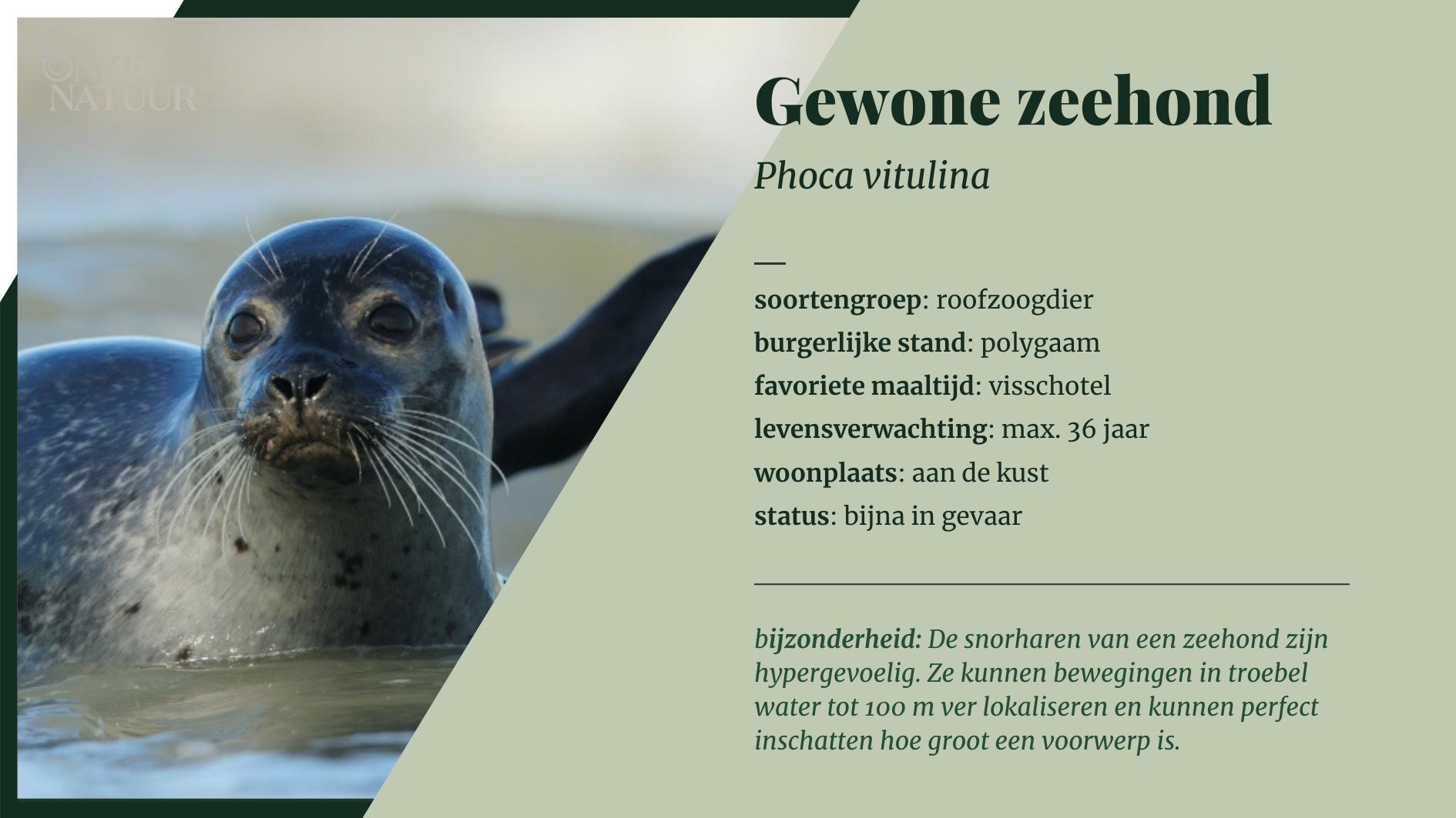 Alle info verzameld over de gewone zeehond