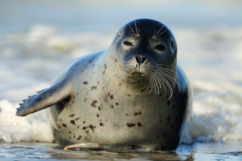 Gewone zeehond aan de vloedlijn