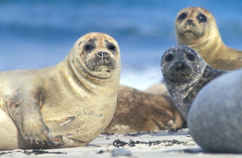 Groep gewone zeehonden in de winter