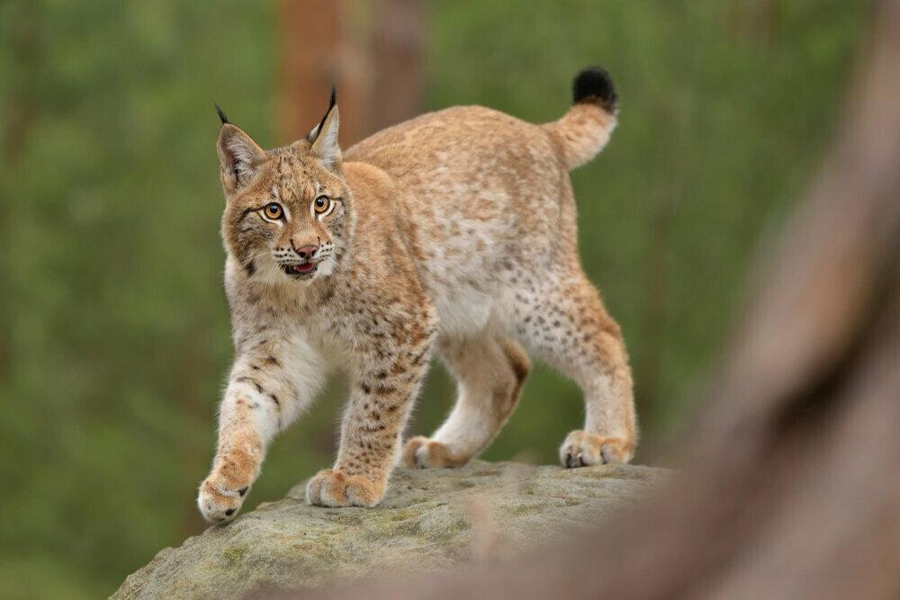 euraziatische-lynx-onze-natuur.jpg