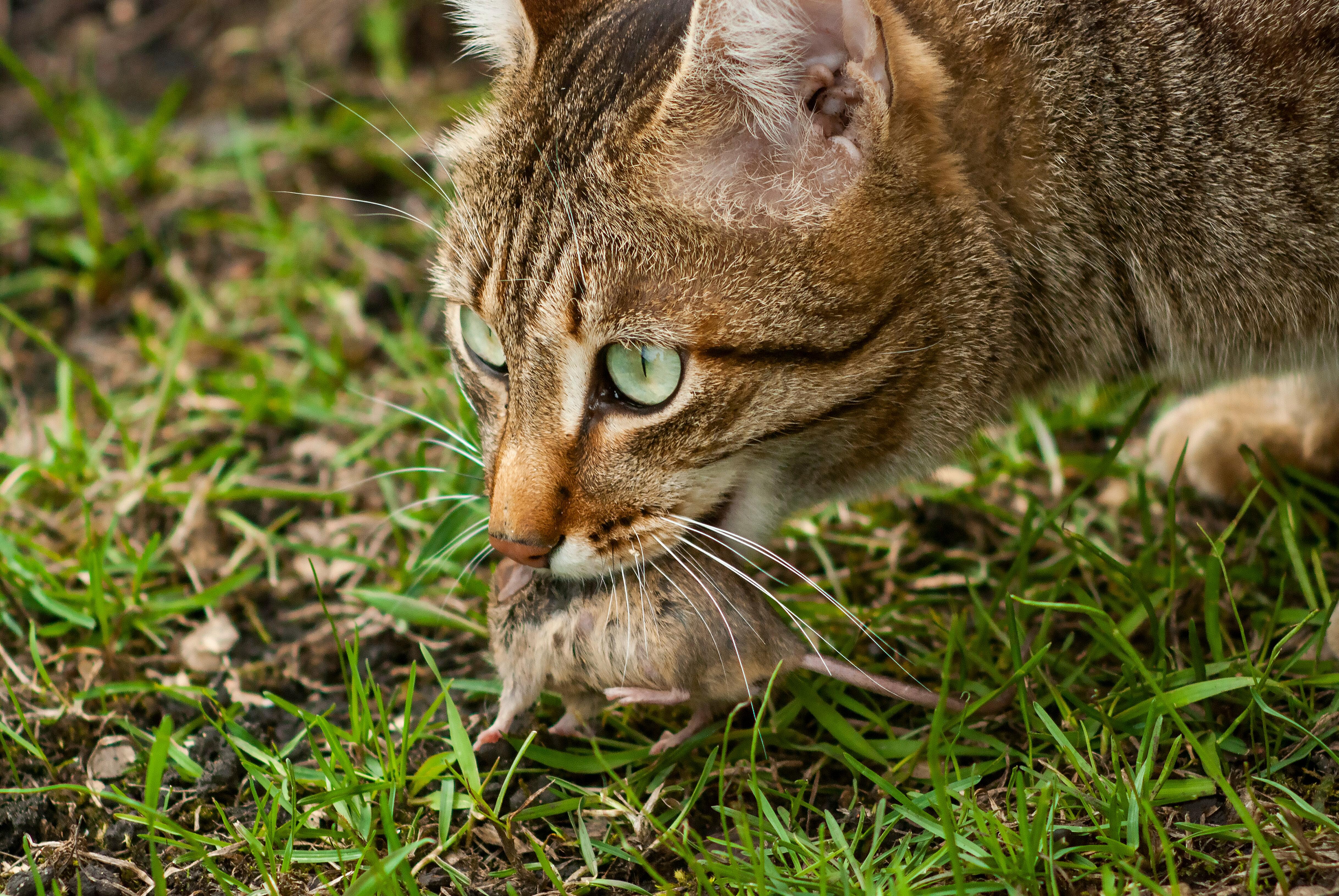 huiskat-predator-onze-natuur.jpg