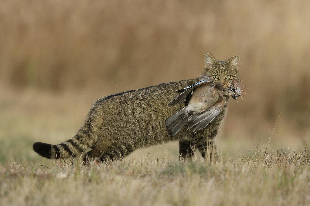 Europese wilde kat