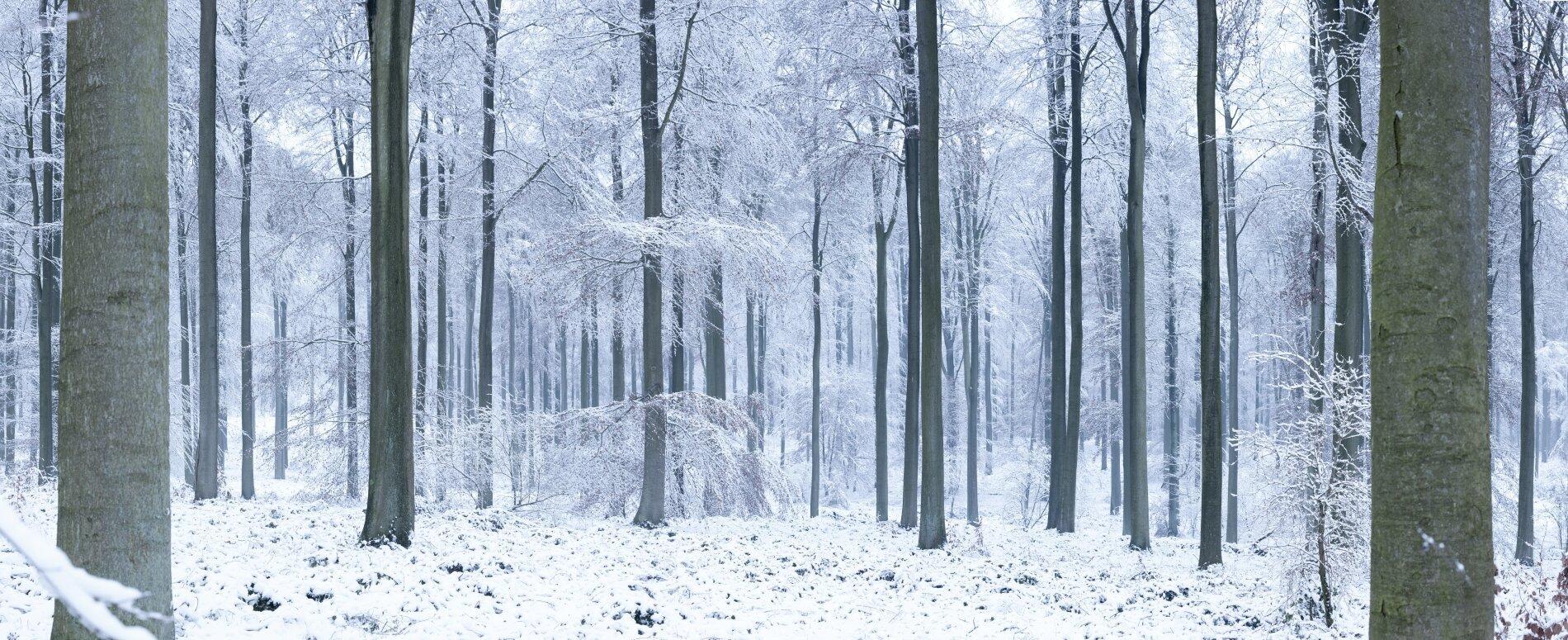 Beesneeuwd bos met hoge bomen
