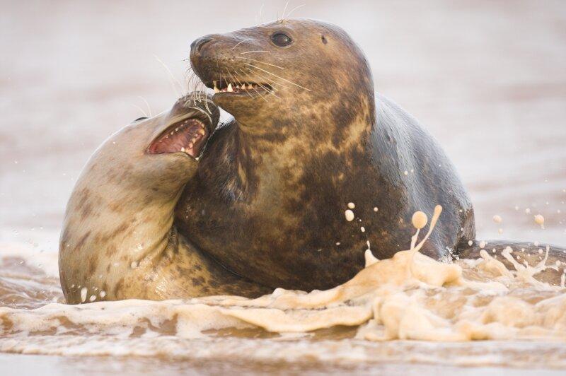 Zeehondenkoppel