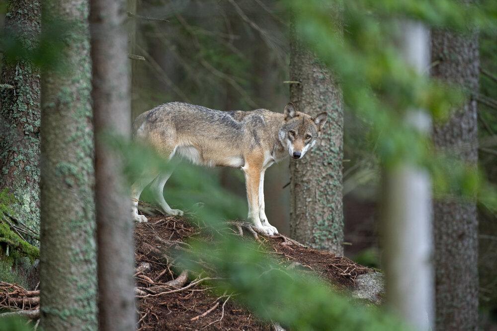 wolf-in-naaldbos.jpg