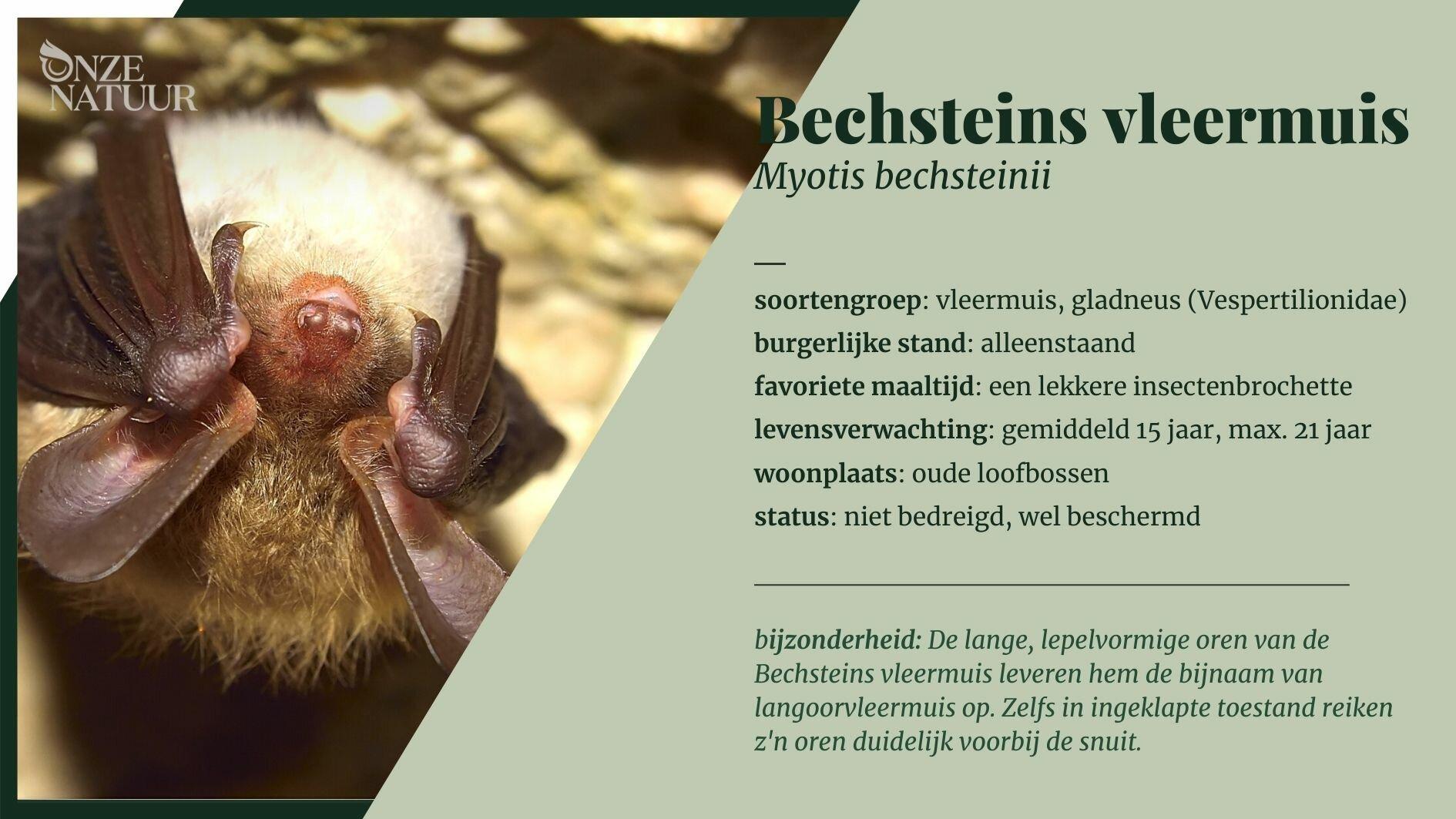 on-fiche-bechsteins-vleermuis-nl.jpg