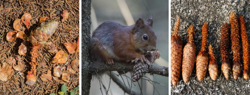 Aangevreten sparrenappels en een eekhoorn die een dennenappel aanvreet