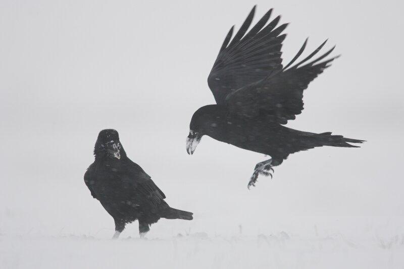 vilda-15980-raven-in-de-sneeuw-yves-adams-800-px-50146.jpg
