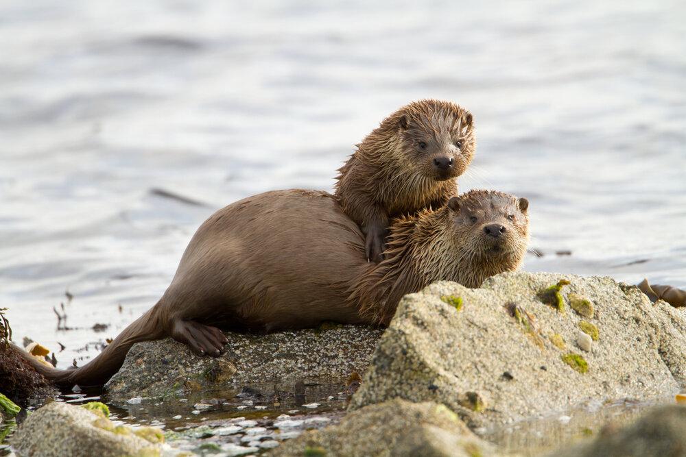 europese-otter-lutra-lutra-moeder-en-dochter-soortenbank-onze-natuur.jpg