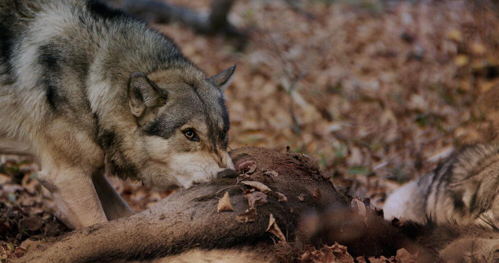 Wolf eet karkas van hert