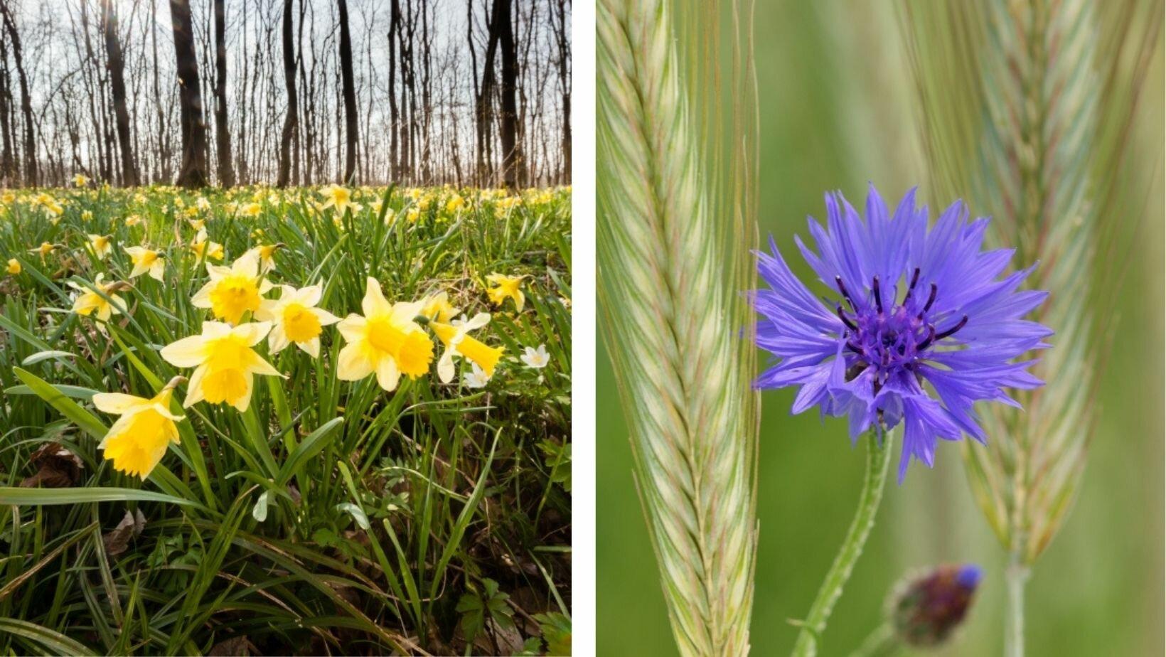 Narcissen (links) en korenbloem (rechts)