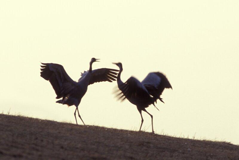 Baltsende kraanvogels