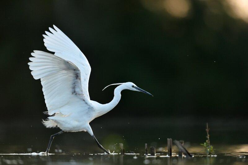 De kleine zilverreiger loopt met de voeten in het water terwijl hij zijn vleugels wijd open heeft.
