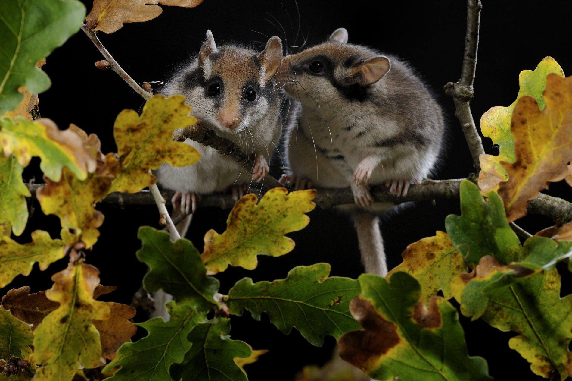 2 verliefde eikelmuizen naast elkaar op een tak.